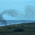 starling murmuration by airwolfhound on flickr